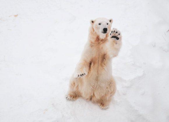 Polar Bears Are Left Handed